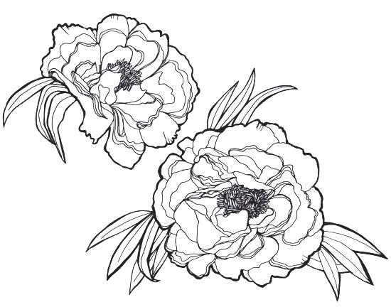Peony Flower Line Drawing : Peony flower line drawing sketch coloring page